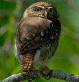 Pygmyowl's Photo